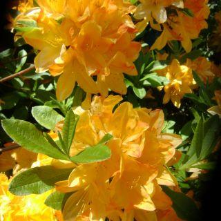 Azalea knaphill 'Glowing Embers' (Rhododendron Glowing Embers)