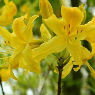 Azalea mollis geel (Rhododendron mollis geel)