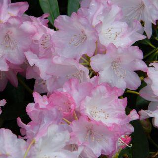 Rhododendron 'Fantastica', Rhododendron Yakushimanum Fantastica