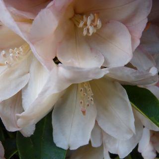 Rhododendron 'Golden Torch', Rhododendron yakushimanum Golden Tourch