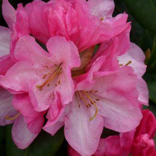 Rhododendron 'Kalinka', Rhododendron yakushimanum 'kalinka'