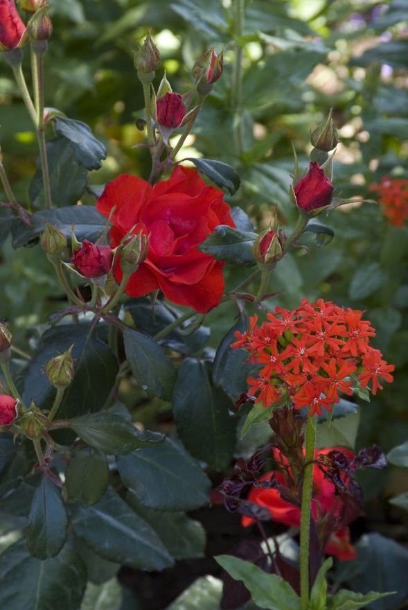 Rosa 'Amsterdam' (rode Floribundaroos, trosroos)