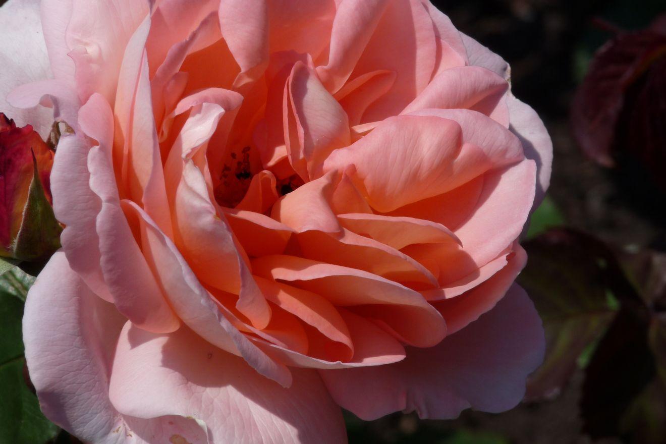 Rosa 'Abraham Darby' (Abrikoos kleurige grootbloemige roos)