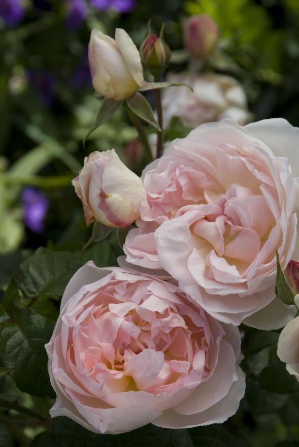 Rosa Abraham Darby (pastelroze, abrikoos en geel bloeiende Engelse roos)