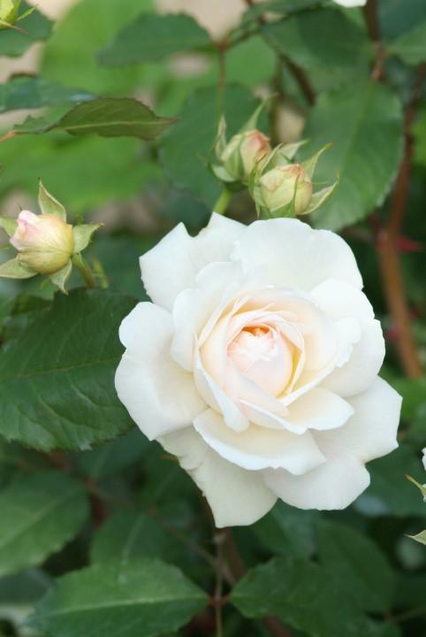rosa 39 aspirin rose 39 de tuinen van appeltern. Black Bedroom Furniture Sets. Home Design Ideas
