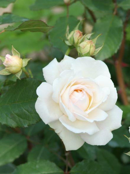 Rosa 'Aspirin Rose' (zuiver witte trosroos met roze hart)