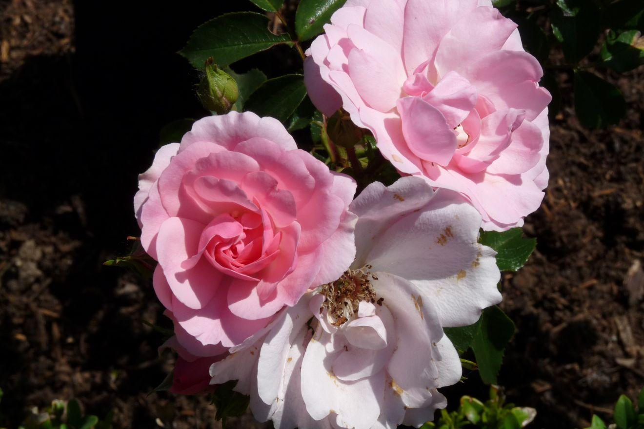 Rosa Bonica (stamroos 80-90 cm)