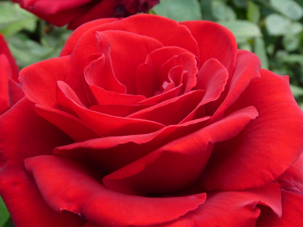 Rosa Dame de Coeur (stamroos 100-110 cm)