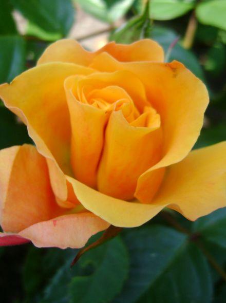 Rosa 'Doris Tysterman' KW (oranje grootbloemige roos)