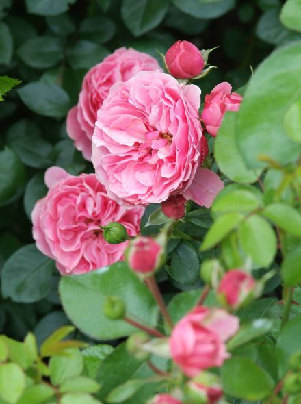 Rosa Gertrude Jekyll (roze Engelse roos)