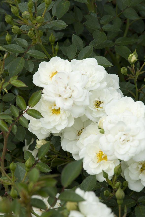 Rosa 'Kent' (White Cover, Bodembedekkende trosroos)