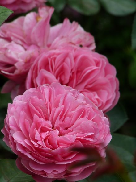 Rosa 'Leonardo da Vinci' (Rosa 'Meideauri', Grootbloemige trosroos)