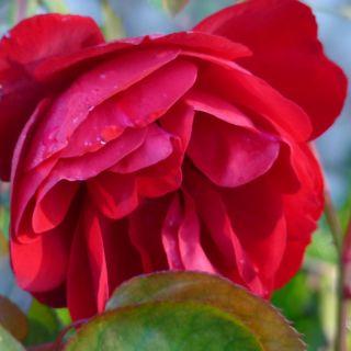 Rosa Lilli Marleen KW (roos op stam) - stam 90 cm hoog