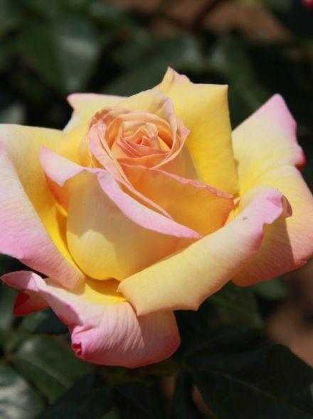 Rosa Peace KW (grootbloemige geel lichtroze roos)