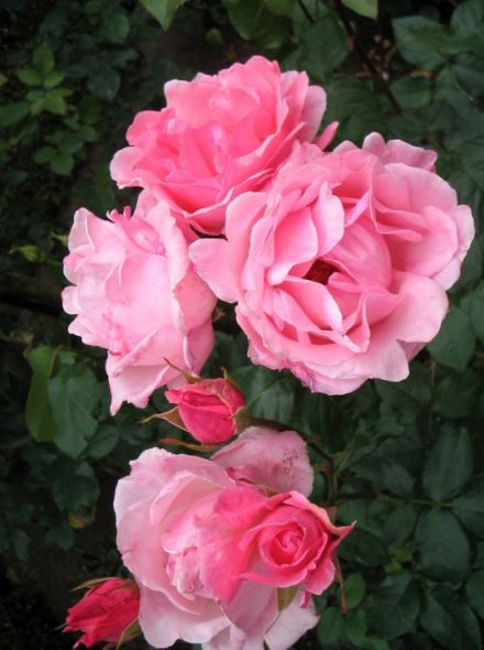 Rosa Queen Elizabeth KW (grootbloemige helder roze roos)