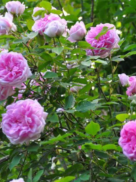 Rosa 'Blairii no 2' (Rambler klimroos)