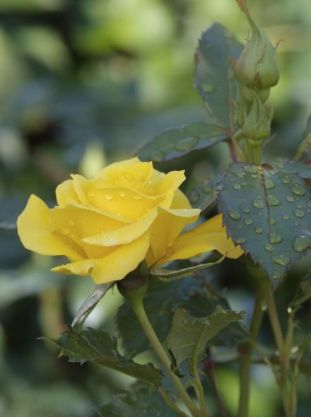 Rosa Friesia (stamroos 80-90 cm)