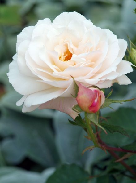 Rosa Helga (Stamroos 90-100 cm)