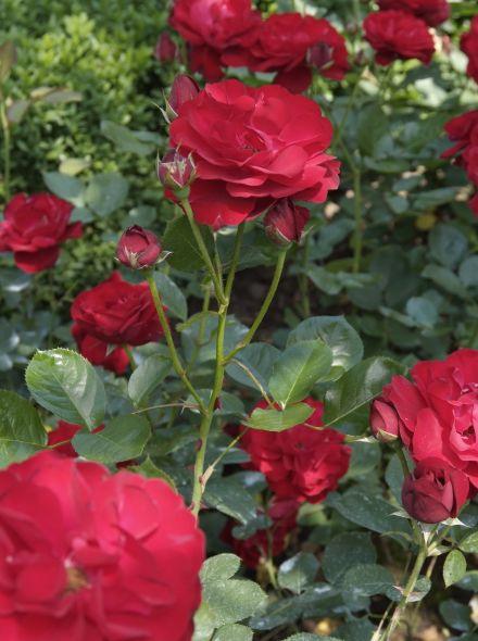 Rosa Ingrid Bergmann (stamroos) - stam 90 cm hoog