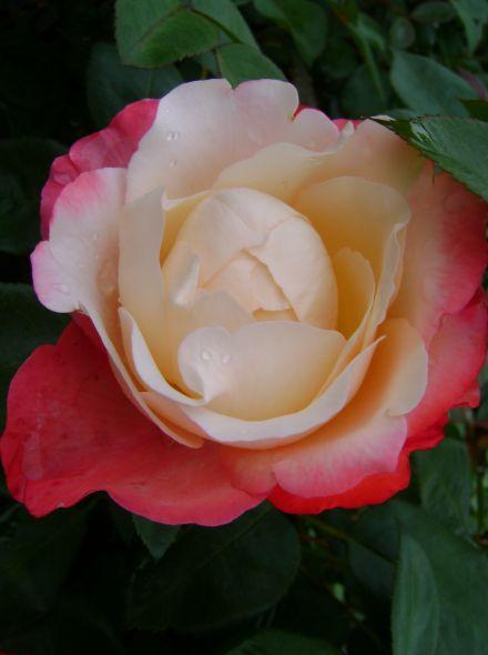 Rosa Nostalgie (stamroos 80-90 cm)