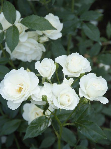 Rosa Schneewittchen (stamroos 80-90 cm)