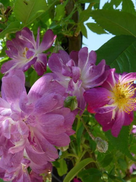 Rosa Veilchenblau (stamroos 110-120 cm, treurvorm)