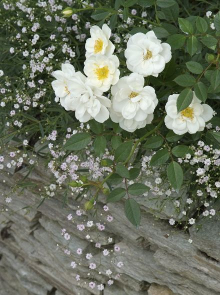 Rosa White Cover - Rosa Kent (stamroos 80-90 cm)