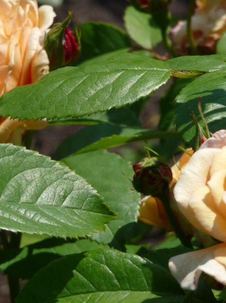 Rosa Pat Austin (stamroos  90-100 cm)