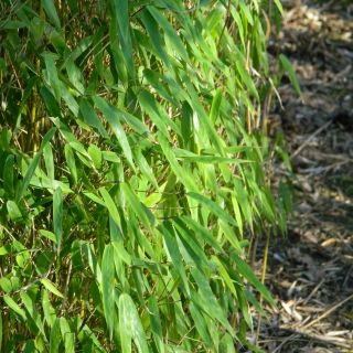 Fargesia nitida Great Wall (fijnbladige bamboe, niet woekerende bamboe)
