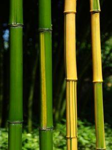 Phyllostachys vivax Aureocaulis (Reuzen bamboe)