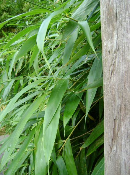 Pseudosasa japonica - 150 / 175 cm (Japanse bamboe)