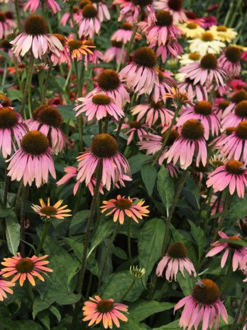 Echinacea purpurea 'Summer Cocktail' - Rode zonnehoed