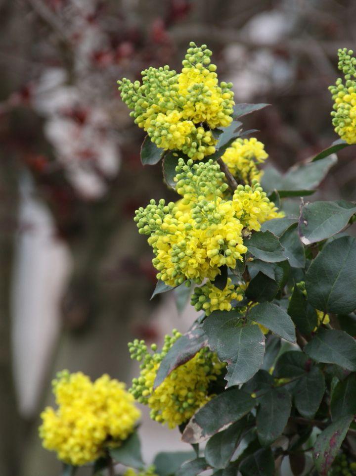 Mahonia aquifolium 'Exeption' - Mahoniestruik