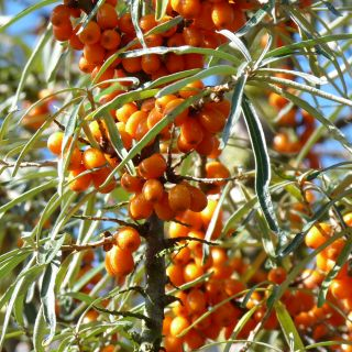 Duindoorn (Hippophae rhamnoides, bosplantsoen)