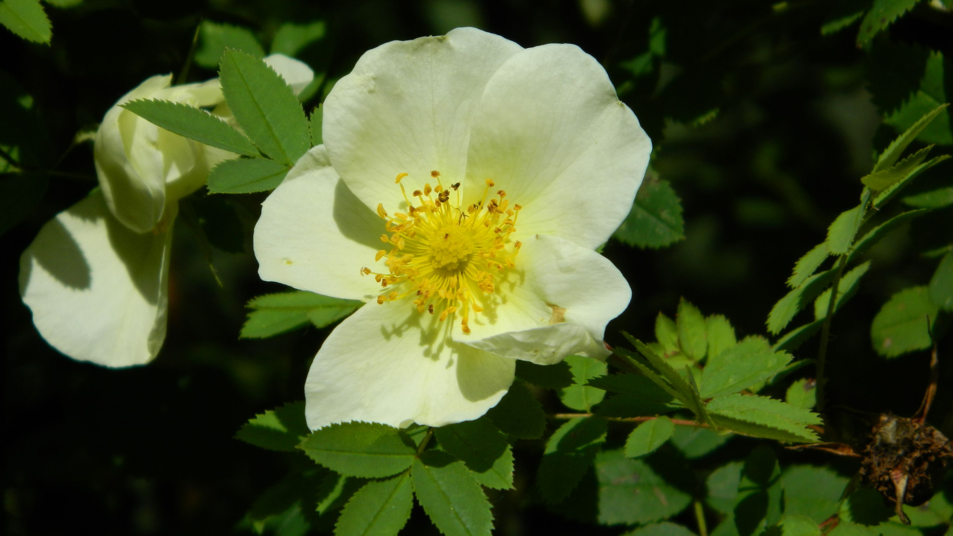 Duinroos Kw Rosa Pimpinellifolia Rosa Spinosissima Bosplantsoen