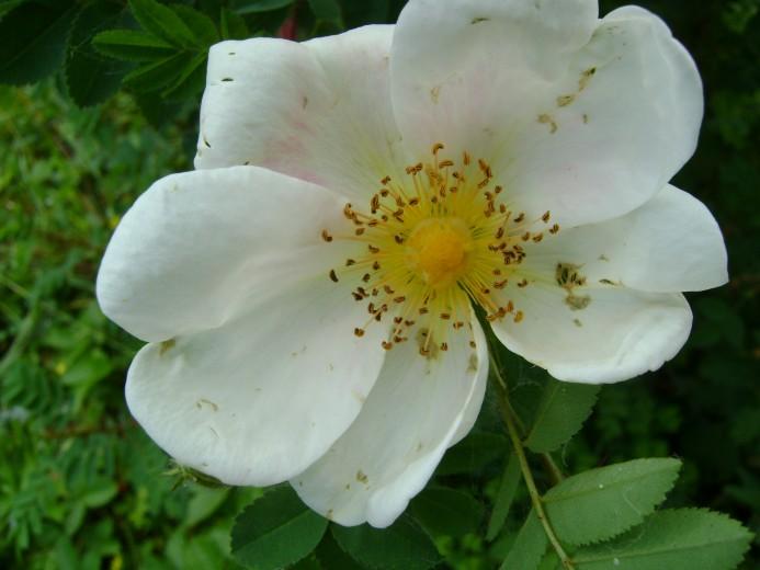 Duinroos KW (Rosa pimpinellifolia = Rosa spinosissima, bosplantsoen)