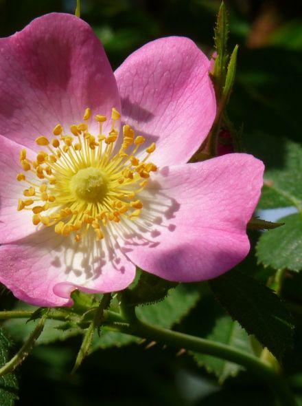 Egelantier KW (Rosa rubiginosa, bosplantsoen)