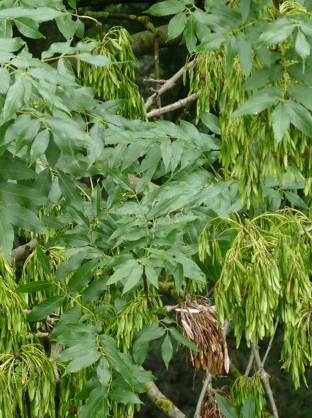 Es (Fraxinus excelsior, bosplantsoen)
