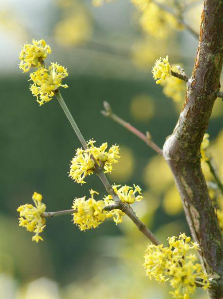 Gele Kornoelje (Cornus mas, bosplantsoen)
