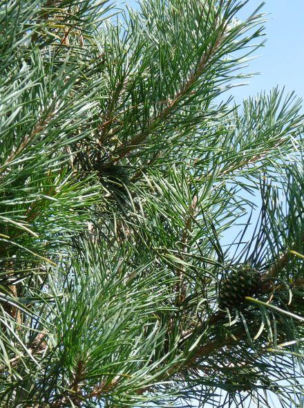 Grove den (Pinus sylvestris, bosplantsoen)