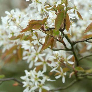 Krentenboompje (Amelanchier lamarckii, bosplantsoen)