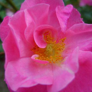 Rimpelroos (Rosa rugosa, bosplantsoen)