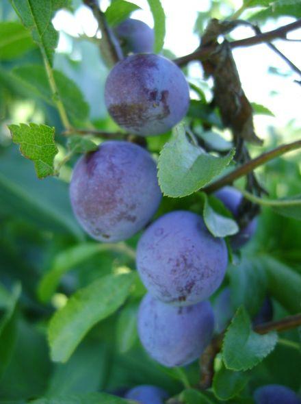 Sleedoorn (Prunus spinosa, bosplantsoen)