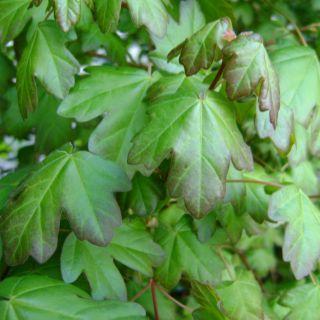 Veldesdoorn (Acer campestre, bosplantsoen)