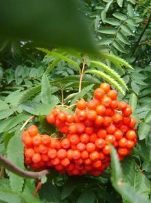 Wilde lijsterbes (Sorbus aucuparia, bosplantsoen)