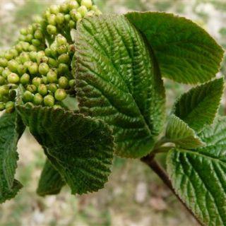 Wollige sneeuwbal (Viburnum lantana)