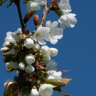 Zoete kers (Prunus avium, bosplantsoen)