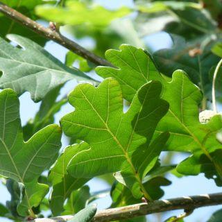 Zomereik (Quercus robur, bosplantsoen))