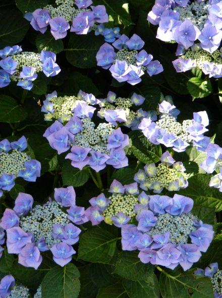 Hydrangea macrophylla Blaumeise (Blauwe schermvormige hortensia)