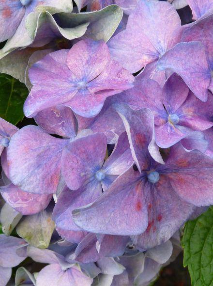 Hydrangea macrophylla 'Early Blue' (Blauwe bolvormige hortensia)